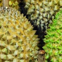 king of durian